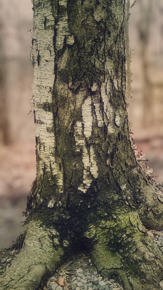 Gentleman Tree.jpg