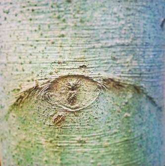 Beech Tree's Stare -- 3:16.jpg