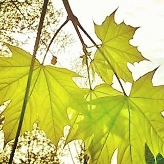 Maple Light.jpg
