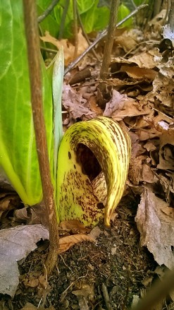 Skunk Cabbage -- 3:16.jpg