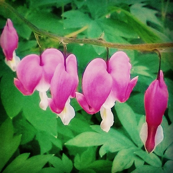Bleeding Hearts.jpg