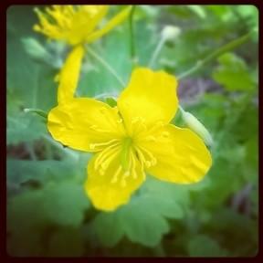 Poppy Celandine.jpg