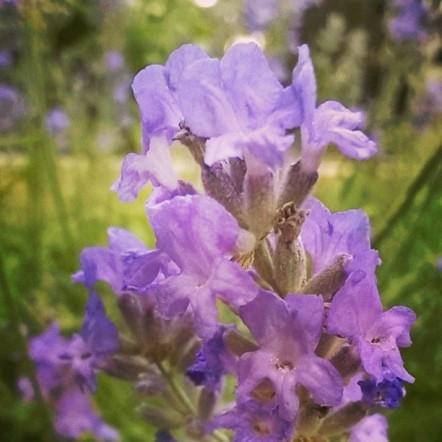 lavender small.jpg