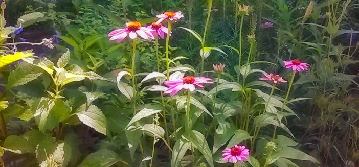 coneflowers in the garden.jpg
