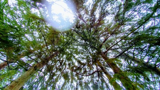 Rain-washed evergreens.jpg