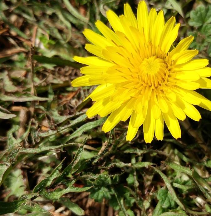 Dandelion, pre-wish.jpg