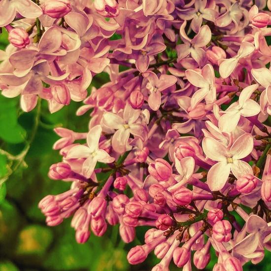 Lilac promise.jpg