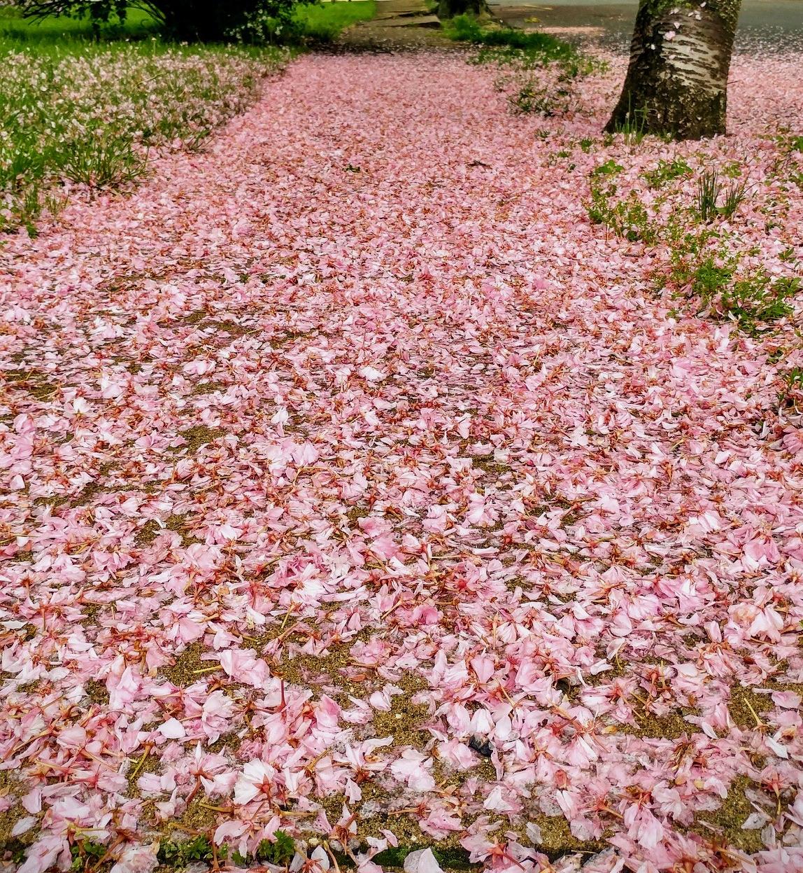 Cherry blossom path nature
