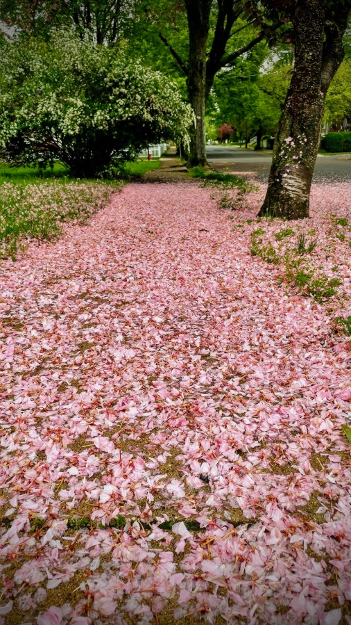 Cherry blossom path - large 2.jpg