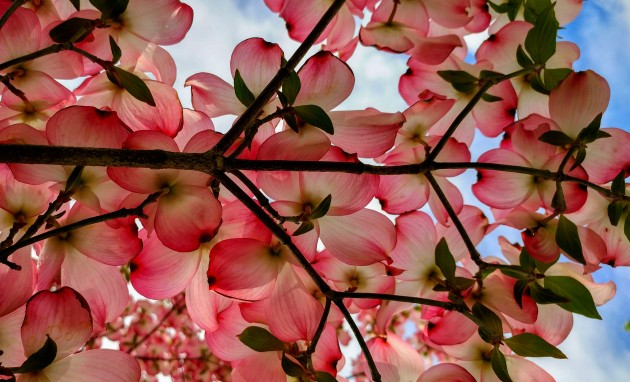 dogwood bough.jpg