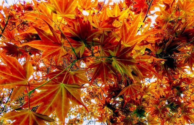 Ripening maple.jpg