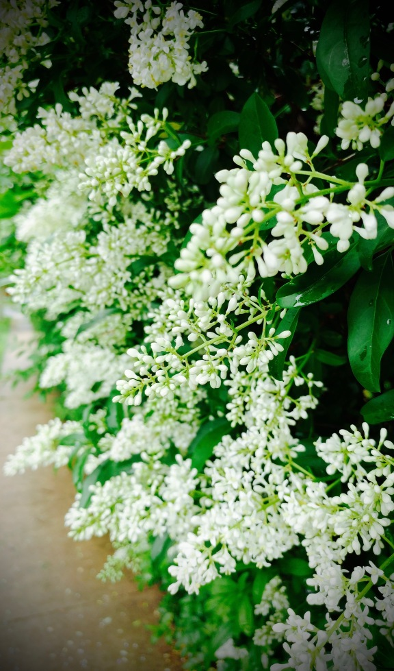 Bloom of Privet 2.jpg