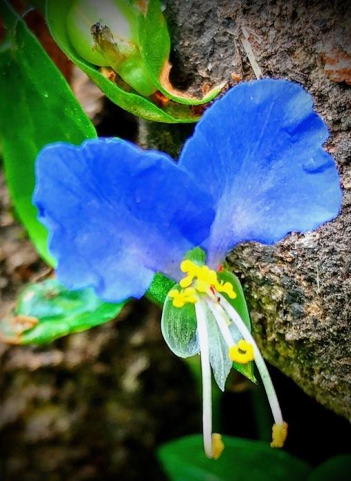 Asiatic Daylily, large 2.jpg