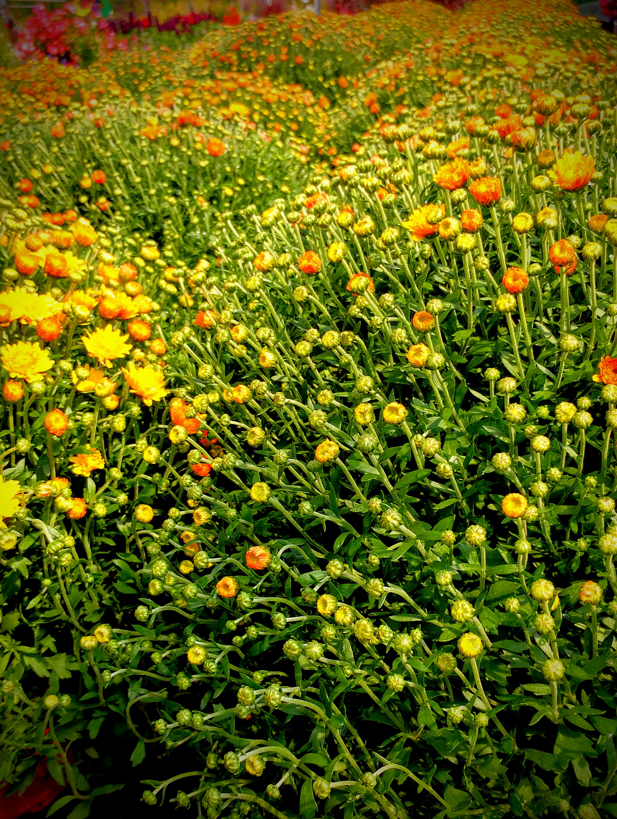 Chrysantemums.jpg