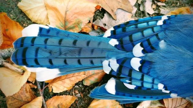 Blue Jay, Elegy.jpg