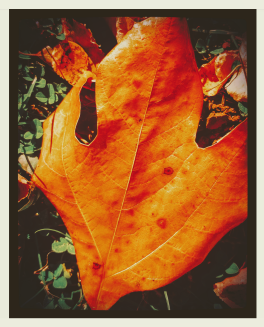 Sassafrass Leaf.png