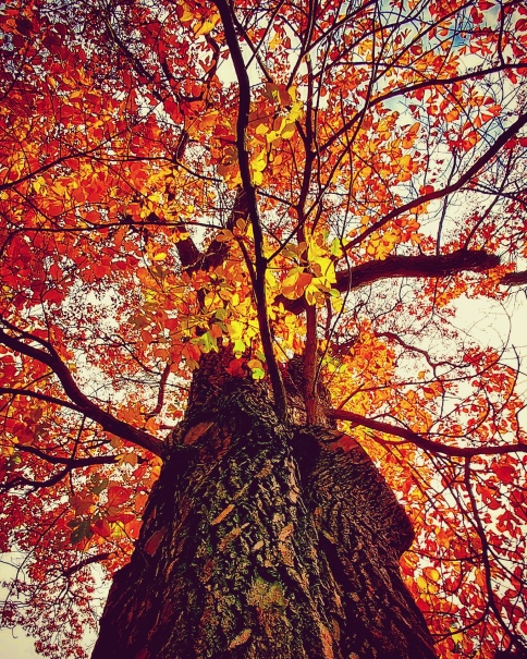 Sassafrass Tree.jpg