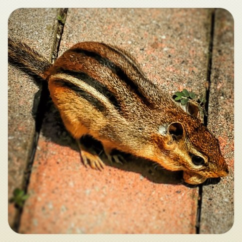 Eastern Chipmunk.jpg