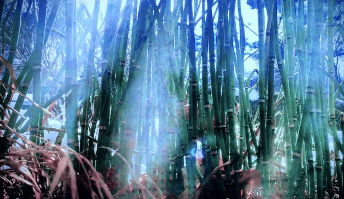 Horsetail bamboo.png