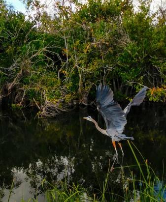 Everglades Heron.jpg