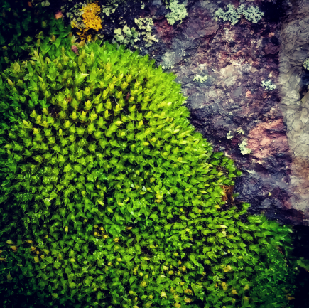 Moss on Puddingstone.png