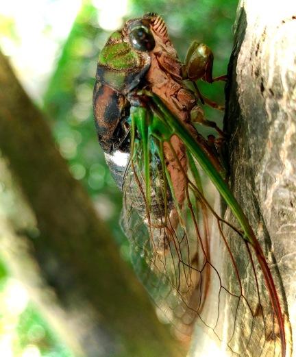Cicada.jpeg