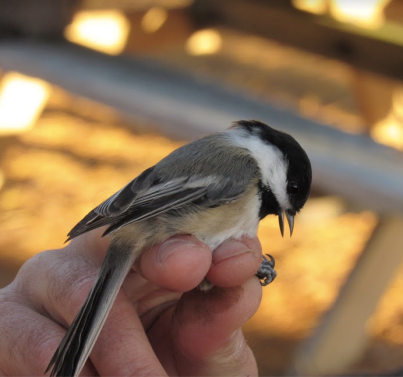 Black-Capped Chickadee -- L.Gloshinski, 11:19.png