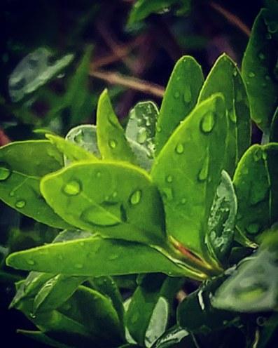 Rain on Privet.jpg