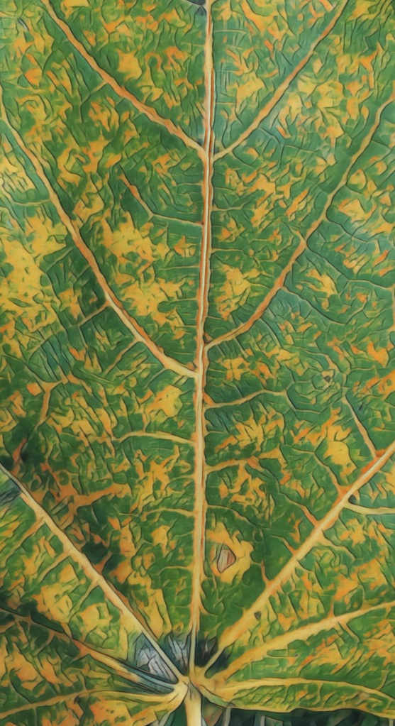 Close up of the veins of a Norway Maple leaf.