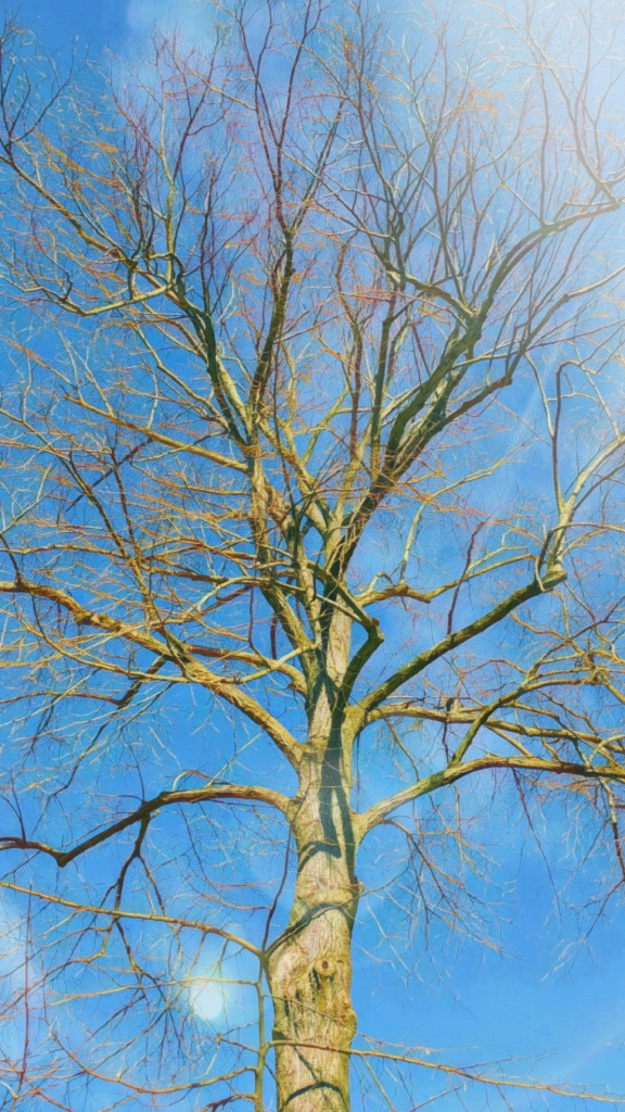 A bare-branched Linden tree, brightly lit, against a clear-blue winter sky.