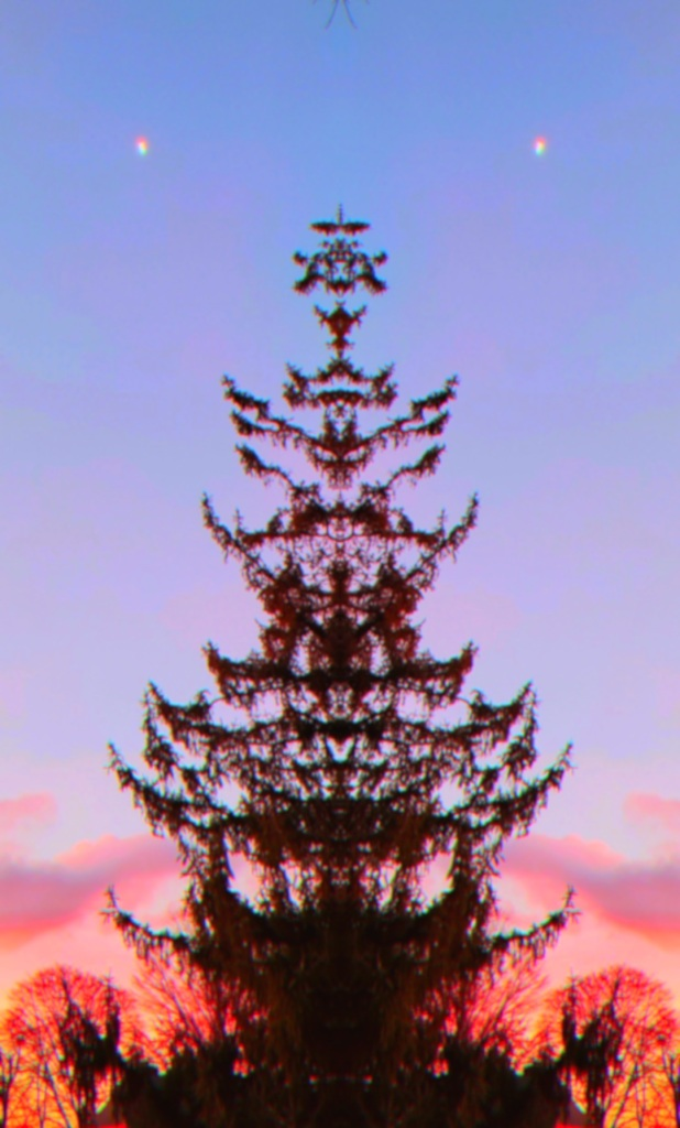 A mirrored image of a great Norway Spruce, with the sunrise glowing behind it.