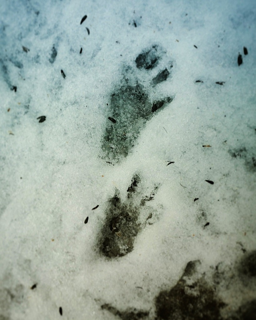 A photography of a squirrel's tracks in the snow.