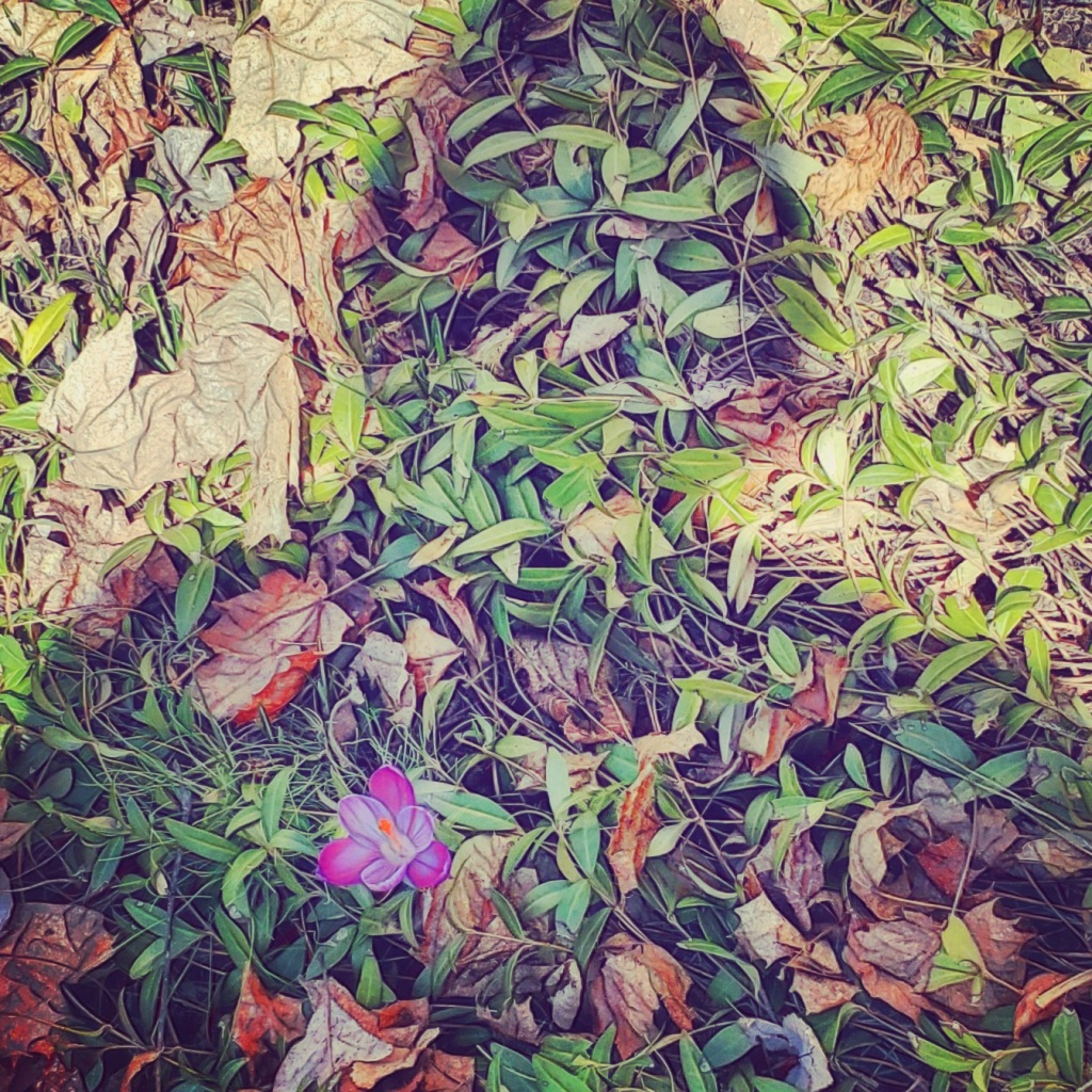 Photo of a woman's shadow cast upon a bed of autumn leaves and new spring growth, with a purple crocus blooming where the shadow's heart would be.