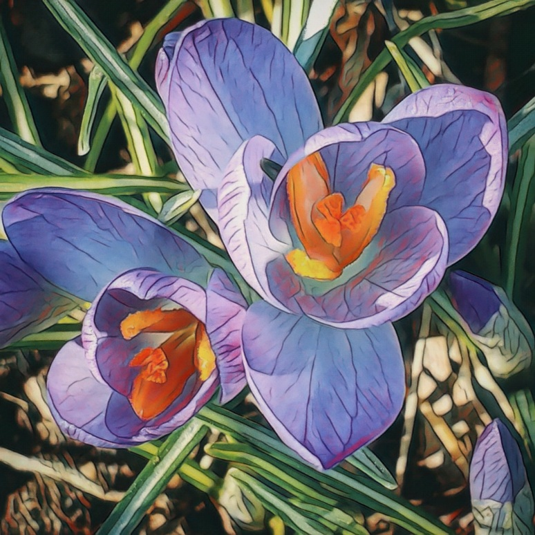 A close-up photo of crocuses in bloom.