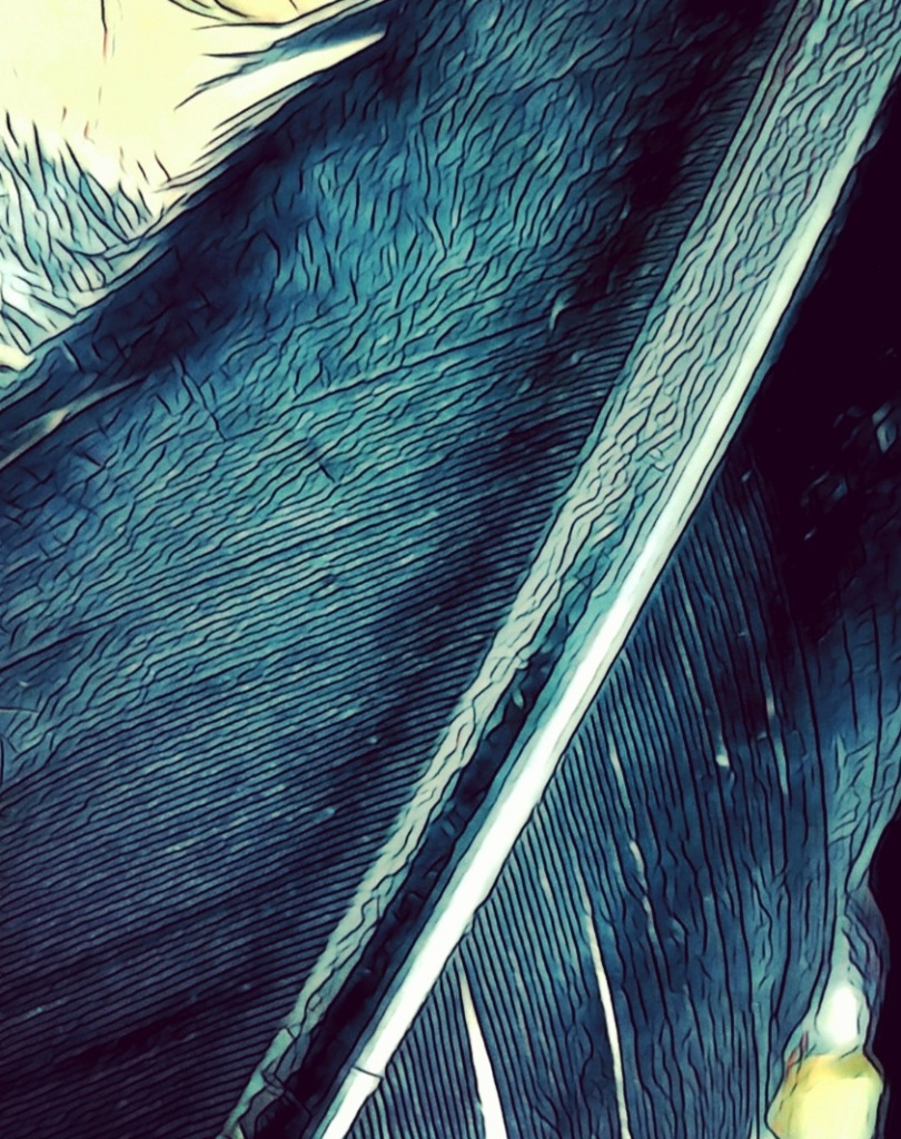 A close-up photo of a Crow feather.