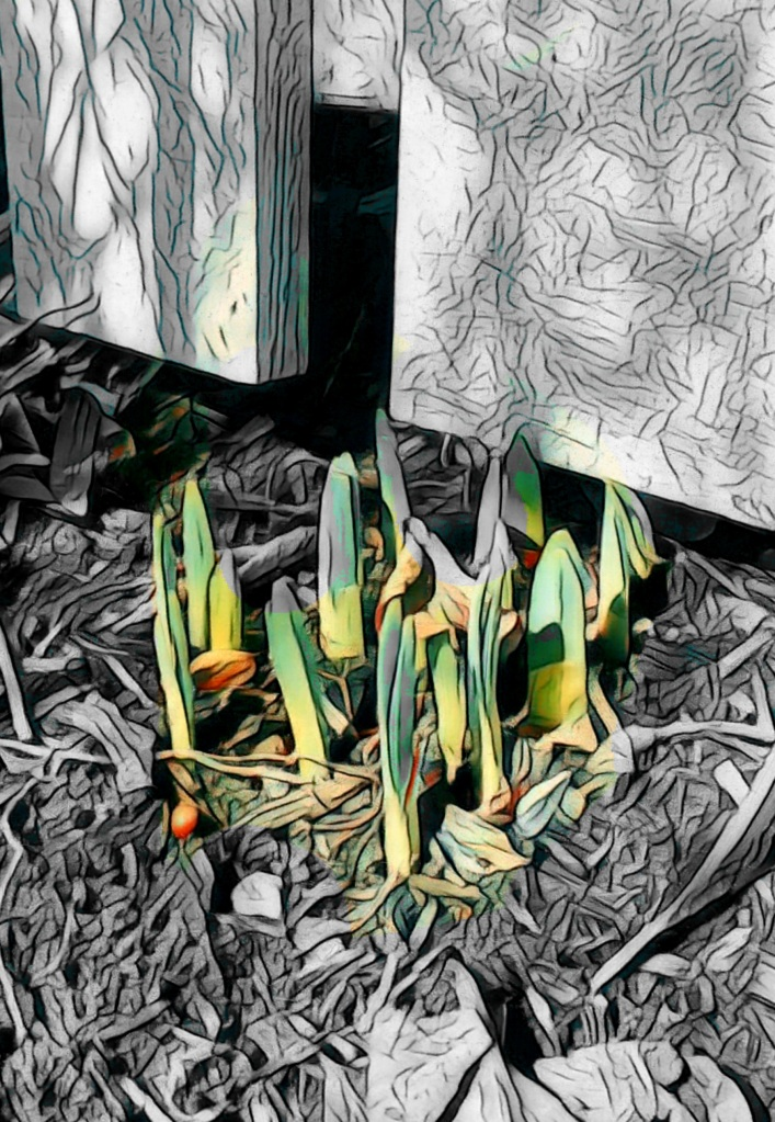 An augmented photo of daffodils' blades thrusting through soil against a white fence... Only the daffodils are in color.