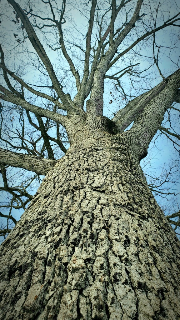 Photo of an old White Oak, looking upward through its leafless winter limbs.