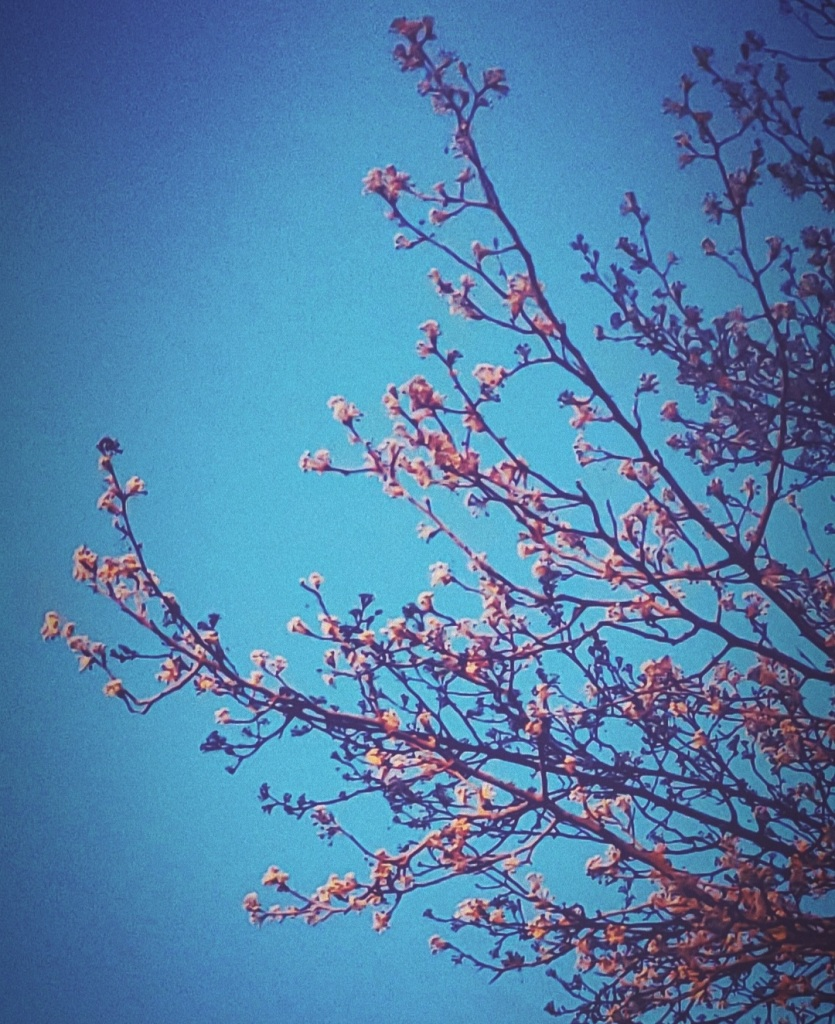 Photo of a Bradford Pear Tree's pink budding branch tips.