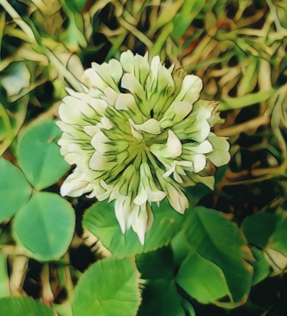 An artfully altered close-up photo of a single white clover blossom.
