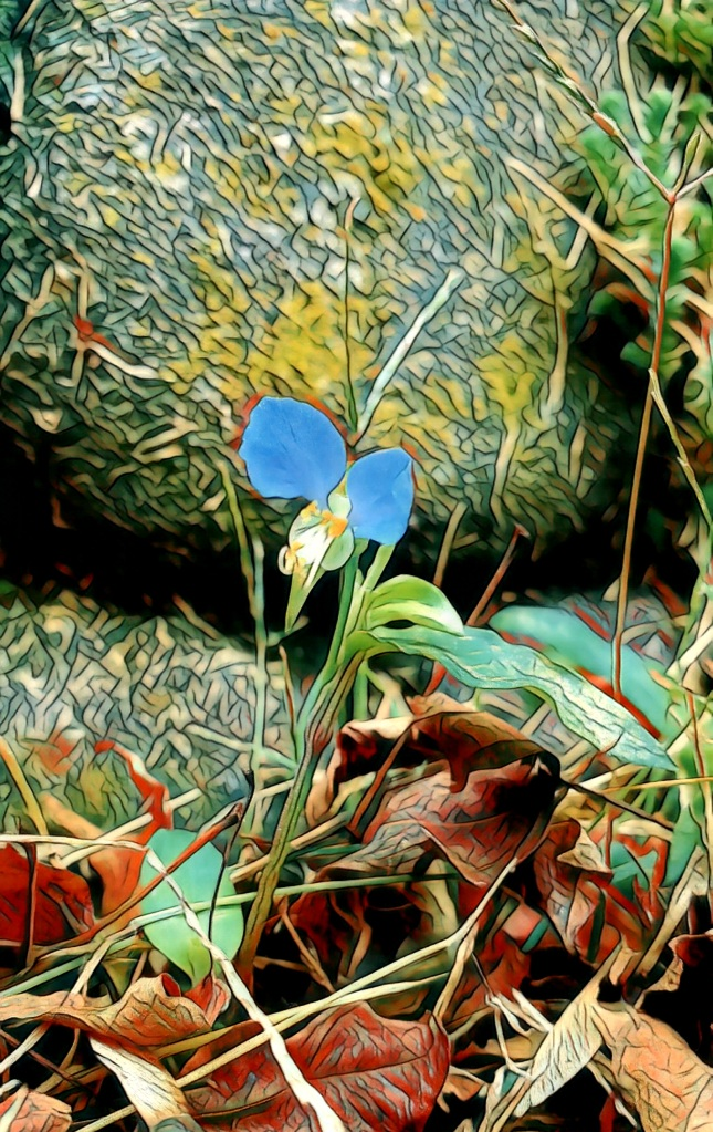 An artfully altered photo of a tiny blue Asiatic Dayflower tucked amongst dry leaves against a stone wall.